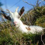 Auch die junge Ziege beobachtet uns neugierig