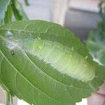 さなぎになる寸前(蛹化中)のオオムラサキのアオムシ