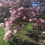 parc au printemps magnolia en fleurs b&b lot et garonne