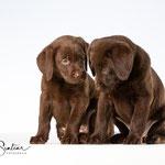 Labrador pups - Connie Sinteur Fotografie