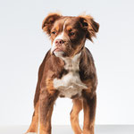 Evi - Mammut Old English Bulldog - Connie Sinteur Fotografie
