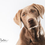 Pip - Labrador - Connie Sinteur Fotografie