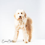 Pom - Labradoodle - Connie Sinteur Fotografie