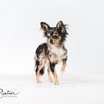 Kwispel - Chihuahua - Connie Sinteur Fotografie