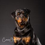 Just - Rottweiler - Connie Sinteur Fotografie