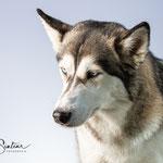 Husky - Connie Sinteur Fotografie