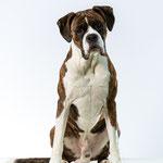 Koda - Boxer - Connie Sinteur Fotografie