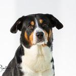 Entlebucher Sennenhond - Connie Sinteur Fotografie