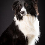 Sky - Border Collie x Australian Shepherd - Connie Sinteur Fotografie
