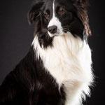 Sky - Border Collie x Australian Shepherd - Connie Sinteur Fotografie