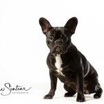 Lois - Franse Bulldog - Connie Sinteur Fotografie