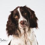Quinty - Engelse Springer - Connie Sinteur Fotografie