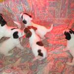 pups Nora x Diego 4,5 wk.