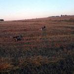 """Setter cazando, de nuestro amigo Rafi que tiene varios perros afijo """"Berquir"""""""