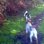 """Rafi de Ondárroa, cazando con sus dos perros, el delante es de nuestro afijo """"BERQUIR"""""""