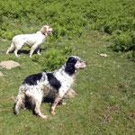 Dos perros de nuestro afijo, propiedad de Gaztañaga de Bilbao