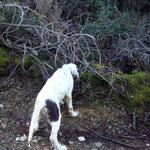 """Perro de nuestro afijo, propiedad de Josep de Girona, es hija de """"LETE DE BERQUIR"""" x """"GISTREDO ECORA"""", mucha afición y muestra."""