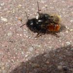 Paarung von Gehörnten Mauerbienen aufgenommen in Bad Kreuznach von Johannes K.