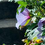 Honigbiene im Anflug auf Malve aufgenommen in Mainz von Lilli S.