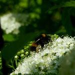 Erdhummel auf Blüte aufgenommen in Frettenheim von Mia G.