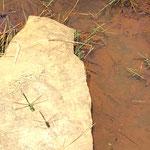 Blaugrüne Mosaikjungfer aufgenommen im Soonwald von Emily P.