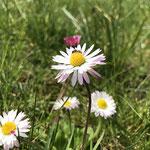 Wildbiene auf Gänseblümchen aufgenommen in Winzenheim von Marie-Claire S.