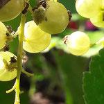 Ameisen und Blattläuse auf Johannesbeere aufgenommen in Ingelheim von Jonas M.