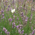 Kohlweißling auf Lavendel aufgenommen in Dorn-Dürkheim von Michael L.