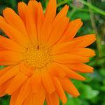 Blattlaus auf Ringelblume aufgenommen von Moritz K.