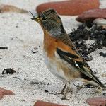Wintergast Bergfink