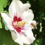 Honigbiene mit Hibiskusblüte aufgenommen von Lisa C.