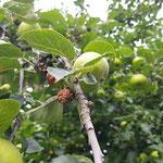 Apfelbaum aufgenommen in Oestrich-Winkel von Sofja B.