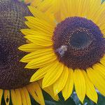 Ackerhummel auf Sonnenblume aufgenommen von Lilo B.