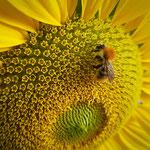 Sonnenblume mit Ackerhummel aufgenommen in Bingen von Nika O.