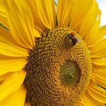 Ackerhummel auf Sonnenblume aufgenommen in Bingen von Nika O.