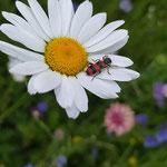Gemeiner Bienenkäfer auf Margerite aufgenommen in Rümmelsheim von Lilli K.