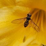 Hain-Schwebfliege aufgenommen von Tiger Paul M.