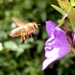 Honigbiene an Glockenblume aufgenommen von Lisa C.