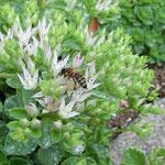 Honigbiene aufgenommen in Guldental von Nike L.