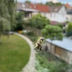 Biene aufgenommen in Mainz von Lena F.