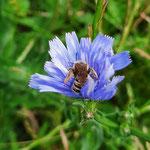 Wildbiene auf Wegwarte aufgenommen in Sprendlingen von Martine G.