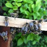 Honigbienen aufgenommen in Gensingen von Aurelia A.