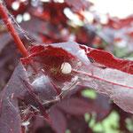 Spinne mit Kokon aufgenommen in Bingen von Madlen Z.