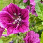 Biene in Malve aufgenommen in Rümmelsheim von Lilli K.