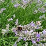 Erdhummel auf Lavendel aufgenommen von Moritz K.