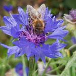 Biene auf Kornblume aufgenommen von Tiger Paul M.