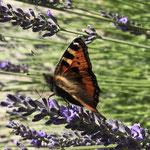 Kleiner Fuchs auf Lavendel aufgenommen in Winzenheim von Marie-Claire S.