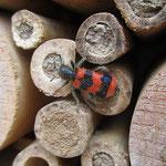 Zottiger Bienenkäfer aufgenommen in Bingen von Madlen Z.