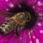 Honigbiene aufgenommen in Mainz von Leander T.