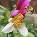 Ackerhummel an Blüte aufgenommen von Lisa C.